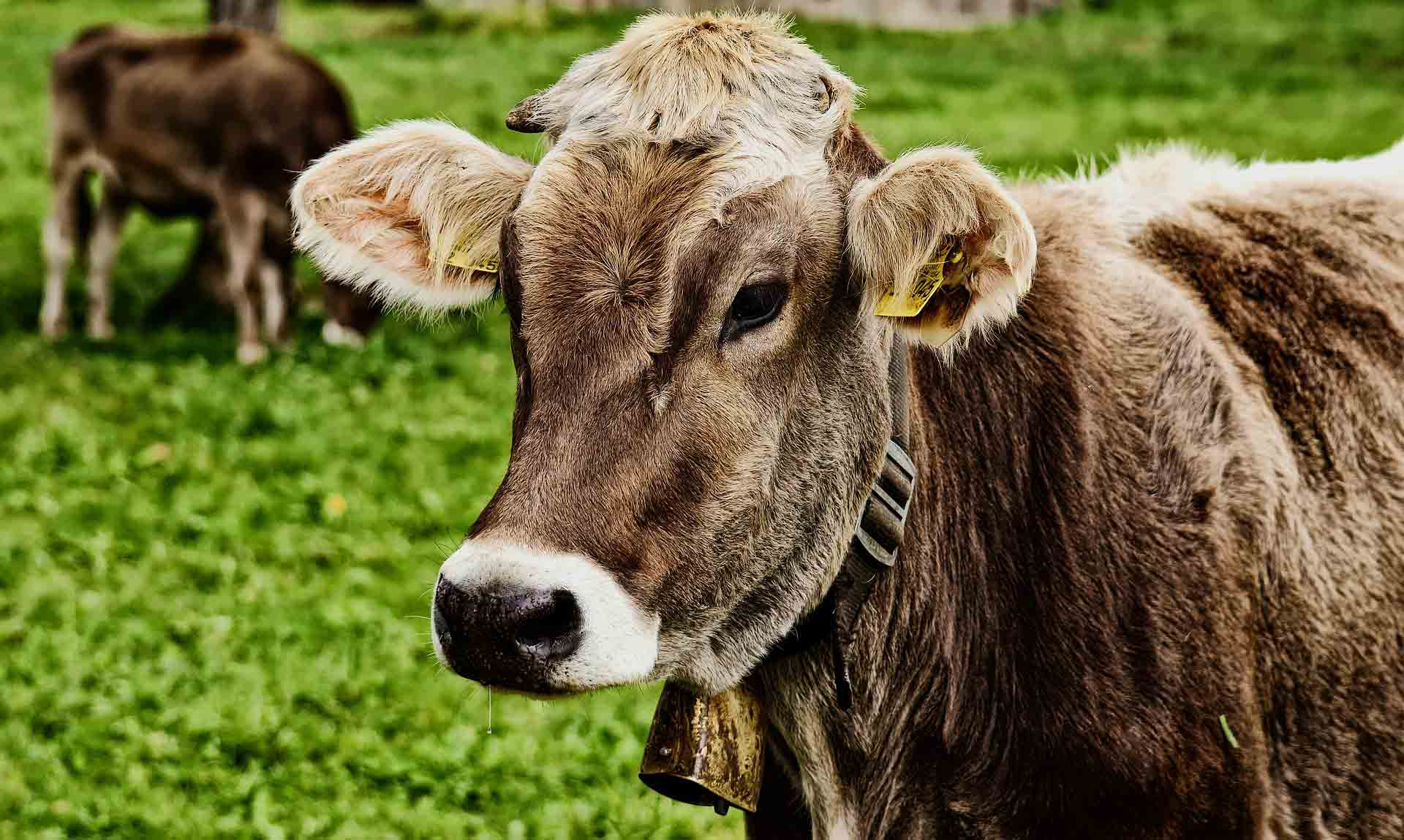Hintergrundbild Allgauer Kuh